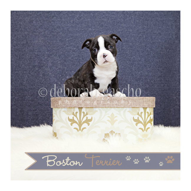"alt=""boston terrier puppy for sale in Ontario"""
