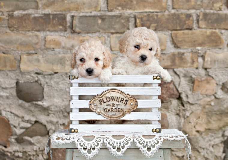 """alt=""""Bichon Poodle puppies for sale in ontario"""""""